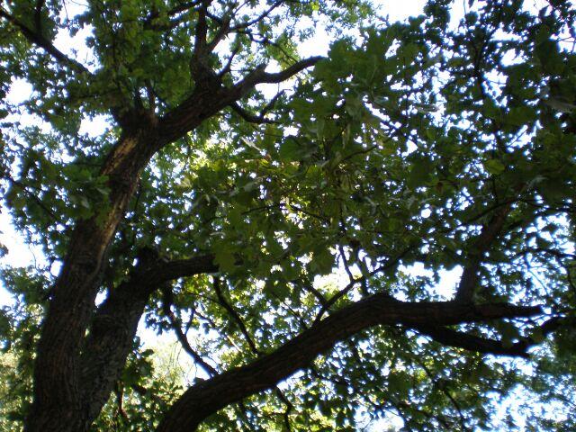 фото деревьев, дуб