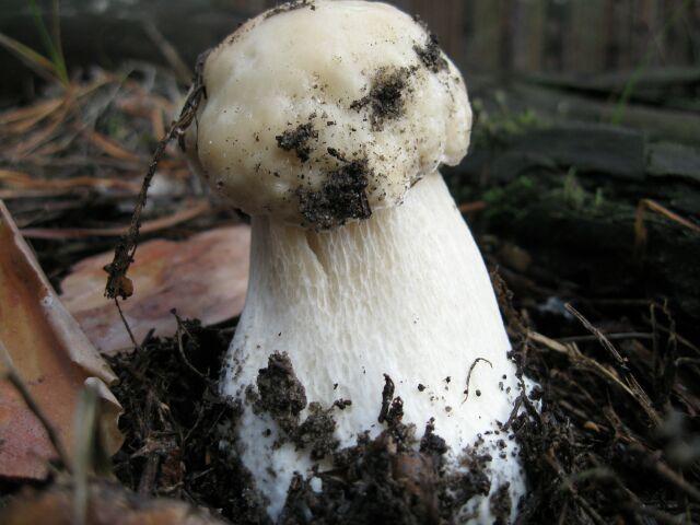 фото грибов съедобных, белый